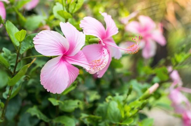 hibiscos-rosas