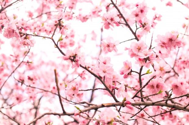 ramas-de-flor-de-cerezo