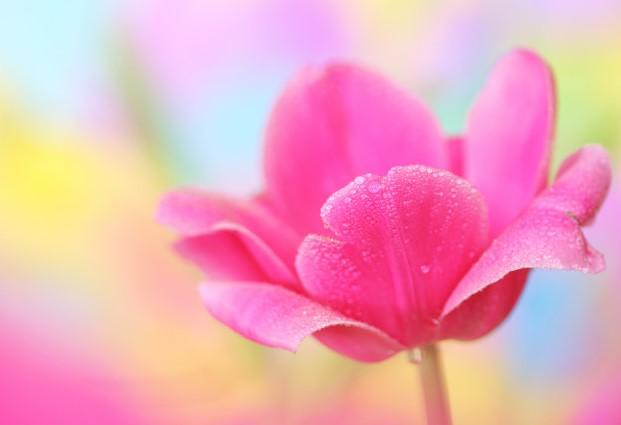 tulipan-rosa