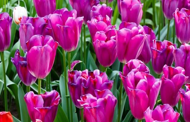 tulipanes-morados