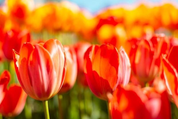 tulipanes-naranjas